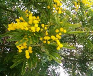 Mimosa in bloom in Holland Park