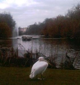 Westminster wild life - a Pelican in repose in front of Buckingham Palace
