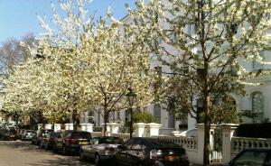 Blossom lined street in Notting Hill
