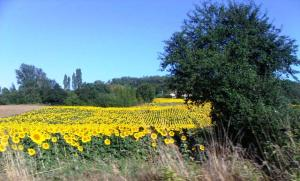 Smiling sunflowers on the outskirts of Cahors